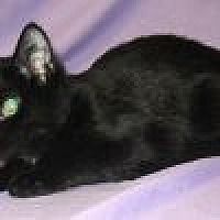 Domestic Shorthair Cat for adoption in Powell, Ohio - Bucky