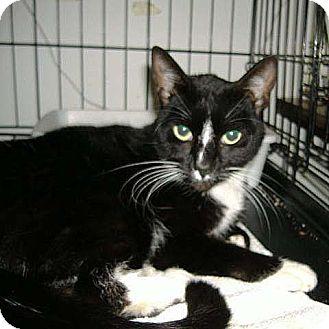 Domestic Shorthair Cat for adoption in Salem, Oregon - Felicity (shelter)
