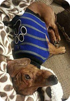 Dachshund Dog for adoption in Coatesville, Pennsylvania - Oscar