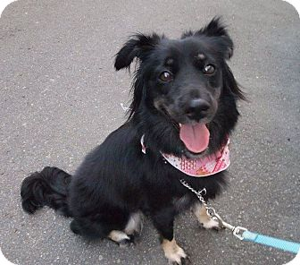Border Collie Mix Dog for adoption in Sunnyvale, California - Paris