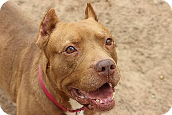 American Pit Bull Terrier Mix Dog for adoption in Vancouver, British Columbia - Dori