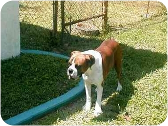 Boxer Dog for adoption in Port. St. Lucie, Florida - Justine
