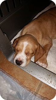 Hound (Unknown Type) Mix Puppy for adoption in Mantua, New Jersey - Comet