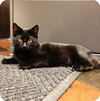 Domestic Shorthair Kitten for adoption in Lombard, Illinois - Alvin