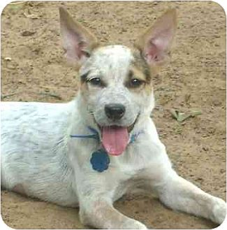 Australian Cattle Dog/Beagle Mix Dog for adoption in Lavon, Texas - Toodles