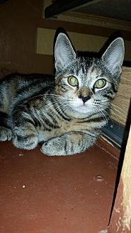 Domestic Shorthair Cat for adoption in Ft. Lauderdale, Florida - Renesme