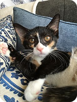 Calico Kitten for adoption in Wayne, New Jersey - Alyce