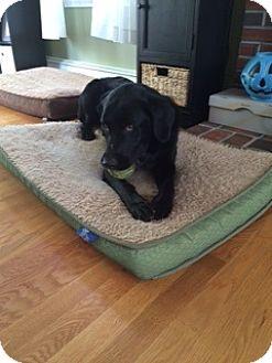 Labrador Retriever Mix Dog for adoption in Brattleboro, Vermont - Koda