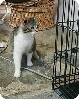 Domestic Shorthair Cat for adoption in mishawaka, Indiana - Chloe