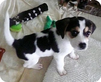 Beagle Mix Puppy for adoption in East Windsor, Connecticut - Chickfila-adoption pending