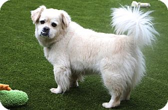 Tibetan Spaniel/Pekingese Mix Dog for adoption in Norwalk, Connecticut - Bucky Meet ME!!!!
