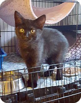 Domestic Shorthair Kitten for adoption in Colmar, Pennsylvania - Lizzy