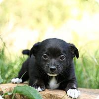 Adopt A Pet :: Sassy - Auburn, CA