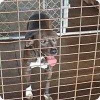 Boxer/Shar Pei Mix Dog for adoption in Cuero, Texas - Peaches
