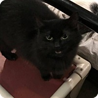 Domestic Mediumhair Cat for adoption in Lorain, Ohio - Lila