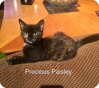 Domestic Shorthair Kitten for adoption in Southington, Connecticut - Paisley