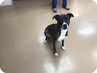 Bulldog/Boxer Mix Dog for adoption in Gadsden, Alabama - Roxanna Mae