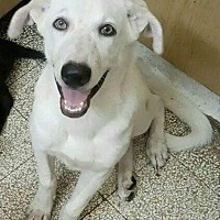 Adopt A Pet :: Billy Budd White Egypt - NYC, NY