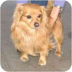 Dachshund/Chihuahua Mix Dog for adoption in Berkeley, California - Migh T.