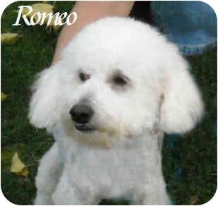 Bichon Frise Mix Dog for adoption in La Costa, California - Romeo & Juliet