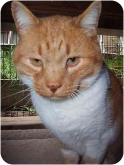 Domestic Shorthair Cat for adoption in Okotoks, Alberta - Sunny Face