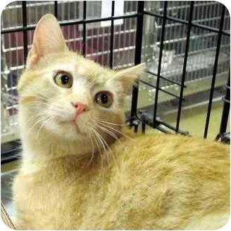 Domestic Shorthair Cat for adoption in Overland Park, Kansas - Trevor