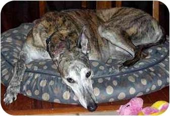Greyhound Dog for adoption in Dallas, Texas - Tyler