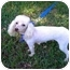 Photo 3 - Poodle (Miniature) Dog for adoption in Tallahassee, Florida - Betzee