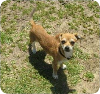 Chihuahua Puppy for adoption in San Clemente, California - BISCUIT