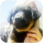Labrador Retriever/Rottweiler Mix Puppy for adoption in Gilbert, Arizona - SPONGE BOB