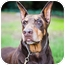 Photo 3 - Doberman Pinscher Dog for adoption in Santee, California - Zorro