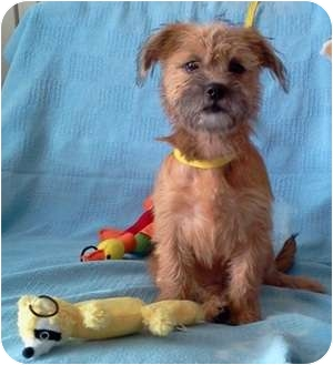 Cairn Terrier Mix Puppy for adoption in San Antonio, Texas - Boo Boo