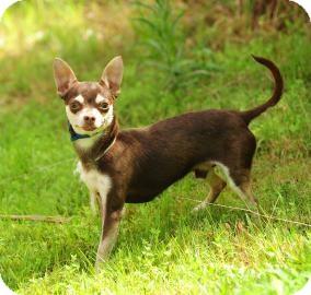 Chihuahua Dog for adoption in Columbus, Georgia - Badger 754F