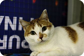 Domestic Shorthair Cat for adoption in Mission, British Columbia - Taja