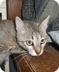 Domestic Shorthair Cat for adoption in Pueblo West, Colorado - Cricket