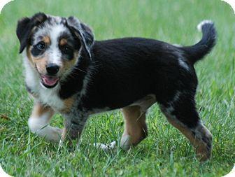 Australian Shepherd/Beagle Mix Puppy for adoption in Providence, Rhode Island - Clemson