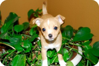 Chihuahua Mix Puppy for adoption in San Diego, California - Peyton