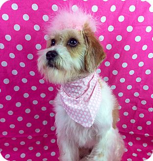 Shih Tzu/Jack Russell Terrier Mix Dog for adoption in Winchester, Kentucky - Zoey