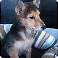 Adopt A Pet :: She-ra - Arlington, TX