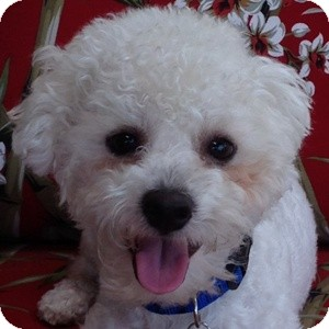 Bichon Frise Mix Dog for adoption in La Costa, California - Casper