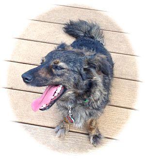 Dachshund/Pomeranian Mix Dog for adoption in Ijamsville, Maryland - Foxy