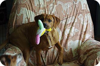 Redbone Coonhound/Retriever (Unknown Type) Mix Puppy for adoption in Spring City, Tennessee - Charlie