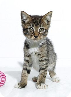 Domestic Shorthair Kitten for adoption in Lufkin, Texas - Lizzy