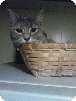 Calico Kitten for adoption in Philadelphia, Pennsylvania - Indigo