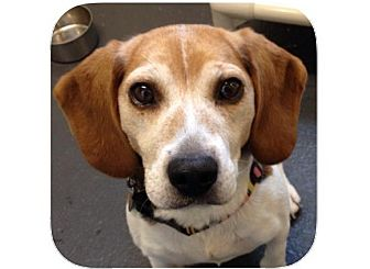 Beagle Mix Dog for adoption in Ithaca, New York - Gerta