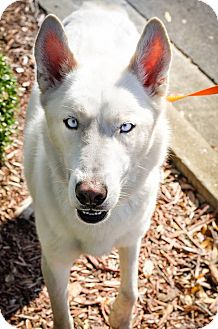 Husky Mix Dog for adoption in Gainesville, Florida - Alfredo