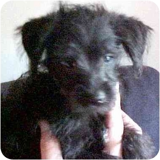 Schnauzer (Miniature)/Poodle (Toy or Tea Cup) Mix Puppy for adoption in Proctorville, Ohio, Ohio - Rudy