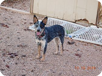 Australian Cattle Dog Puppy for adoption in Phoenix, Arizona - Melody
