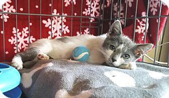 Domestic Shorthair Kitten for adoption in Upland, California - Romeo