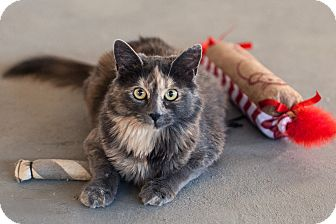 Domestic Mediumhair Cat for adoption in St Helena, California - Dolly